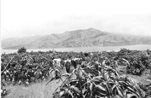 昔日荒山荒坝变成绿色果园 华坪县委宣传部 供图