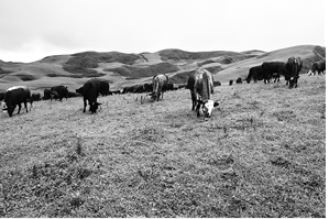 黑巴草场上散养的牛群