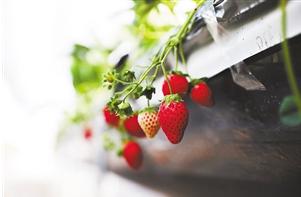 云品丨云南草莓采摘地集结!找个时间去摘草莓吧