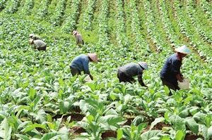 烟草产业是我省特色优势产业 记者 张彤 摄