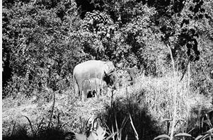 """两头亚洲象正在""""象爸爸""""的陪伴下做野化生存训练"""