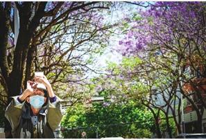 市民用手机记录下蓝花楹盛放的美景。