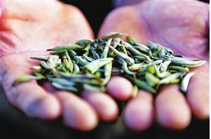 云品丨今年茶山还在静悄悄 云南茶农茶企如何自救?