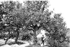 冰岛村挂牌保护的古茶树 苏颖 摄