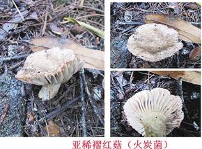 亚稀褶红菇(火炭菌)