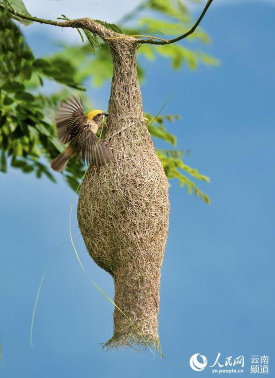 幼鸟出生后,雄鸟依然会不断加固鸟巢。摄影:张仁韬