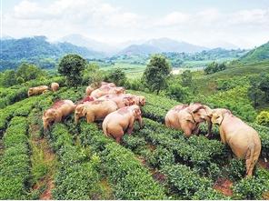 缓解人象冲突 云南计划建设7500公顷亚洲象栖息地