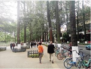 在翠湖等闹市区,有许多高大的银桦树。
