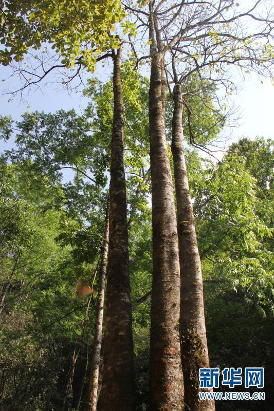 这是4月15日拍摄的在云南高黎贡山国家级自然保护区保山段发现的滇桐植株。 新华社发(徐聪丽摄)