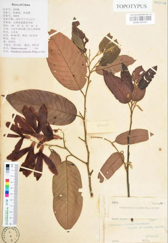 盛基、李延辉采集的望天树模式标本。西双版纳热带植物园供图