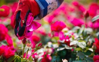 """一束玫瑰一桌菜 鲜花做菜成""""网红"""""""