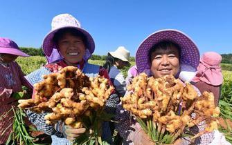 云南罗平:万亩黄姜迎丰收