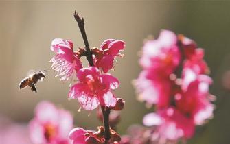 昆明梅开迎春来