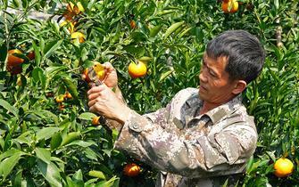 """云南建水:柑橘樹上的""""致富果"""""""