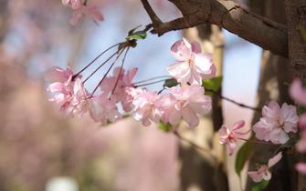 云南:海棠盛開春滿園