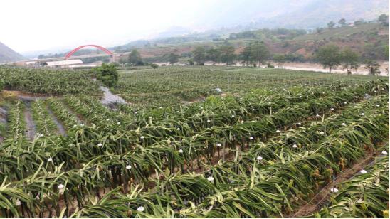 兴邦农业发展有限公司火龙果基地(王娅男/摄)