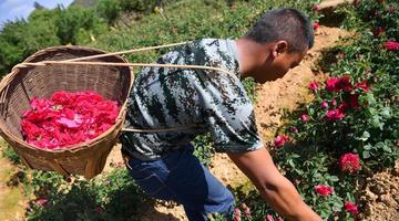 云南万亩食用玫瑰甜蜜盛开