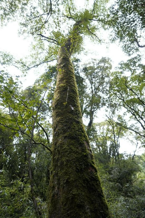 生物多样性之美 云南昌宁:全球范围内保存最完整的水青树居群植株超过一万株