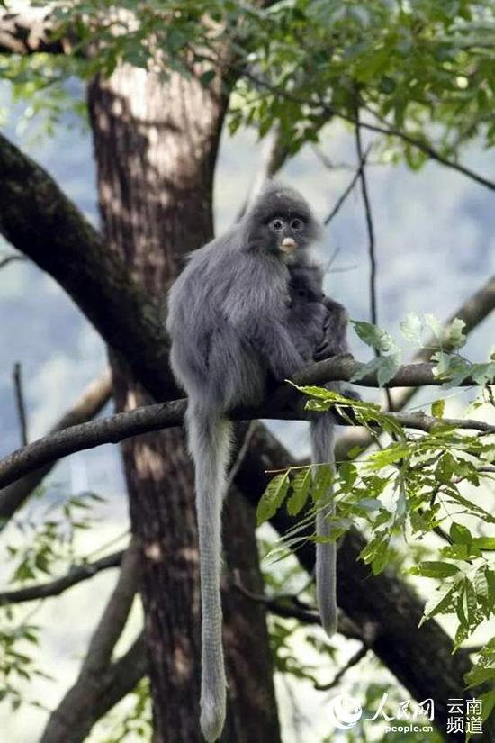 一只灰叶猴在树上张望。景东县融媒体中心供图