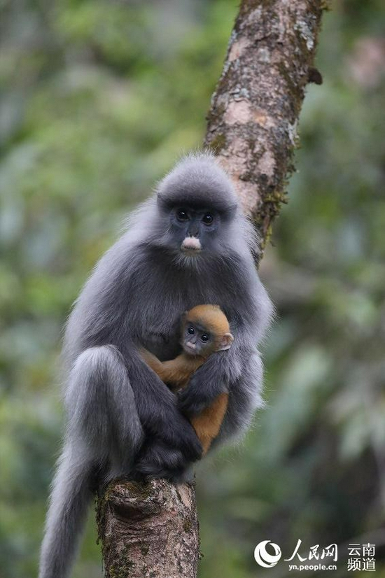 一只成年灰叶猴怀抱幼崽。景东县融媒体中心供图