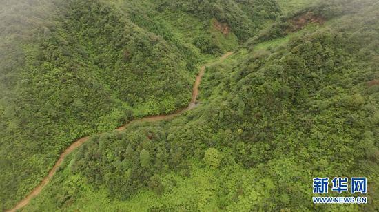 图为昭通市大关县漫山遍野的筇竹种植。新华网 赵普凡 摄