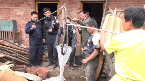 从村民家中捕捉到的两条巨型眼镜王蛇