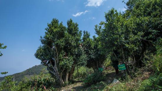 挂牌保护古茶树