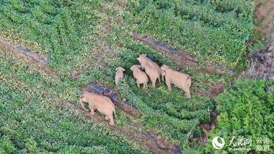 6月19日,象群在玉溪峨山活动。云南省森林消防总队供图