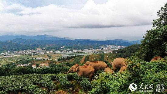 亚洲象此前在普洱市思茅区活动画面。思茅区融媒体中心供图