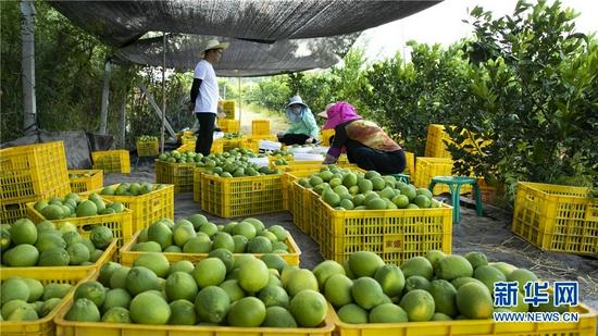 工人们正在分拣采摘好的脐橙