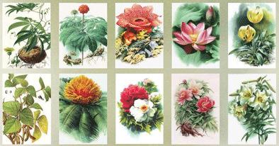 曾孝濂的植物科学画。受访者供图