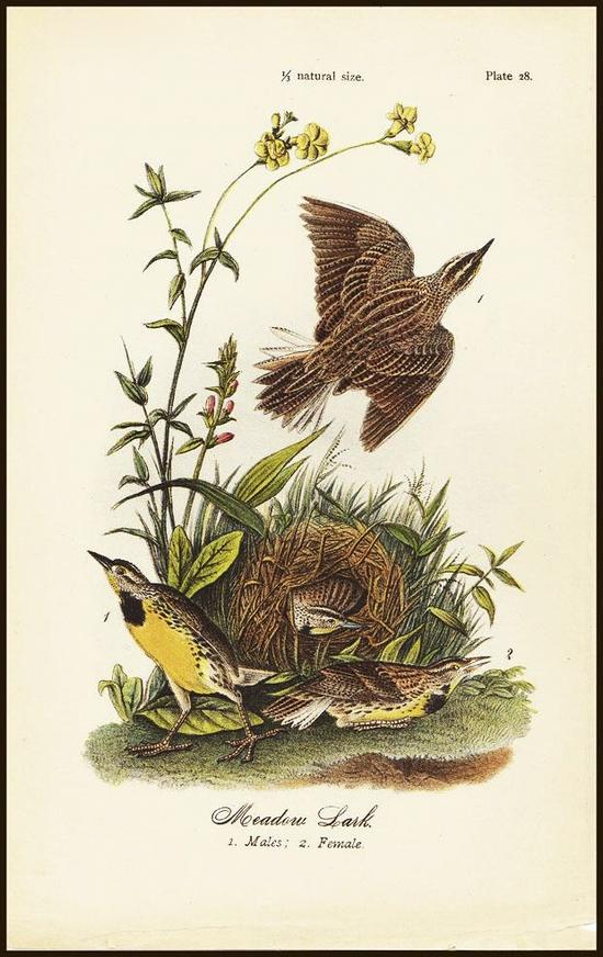 奥杜邦鸟类画作