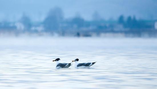 渔鸥,苏金泉摄影。