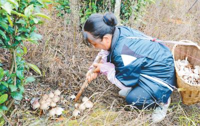 图为四角田村村民在采鸡枞。吴再忠摄