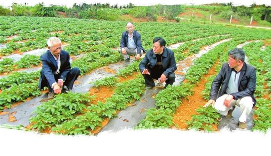 陈兴片(右二)在田间传授种植技术