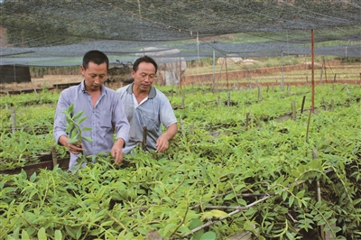 群众在管理石斛种植床