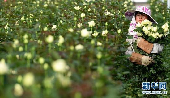 (工人在弥勒市品元园艺有限公司的现代温室大棚内采摘玫瑰花)