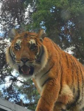 云南野生动物园老虎洗牙治疗结束