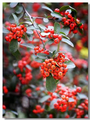 红色火把果装扮澄江山野好景色