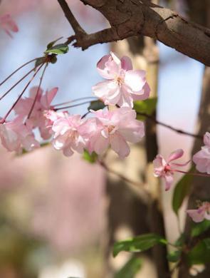 云南:海棠盛开春满园