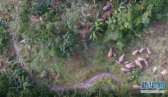 在勐仑子保护区拍摄到的野生亚洲象(无人机照片,11月14日摄)。新华社发