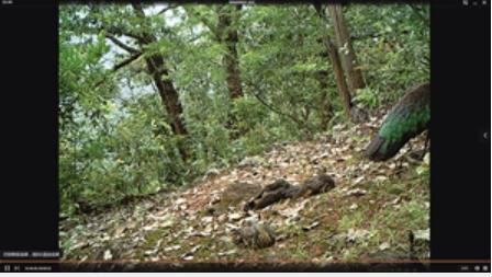 在山腰拍摄到绿孔雀幼鸟
