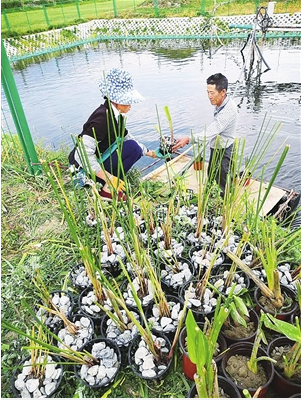 花语牧场员工种植水生植物,净化农田尾水。