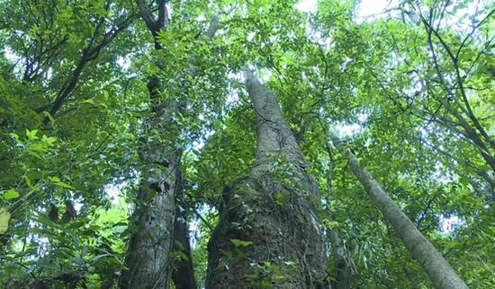 云南保山首次发现珍稀濒危植物滇桐野生种群 数量高达31株!