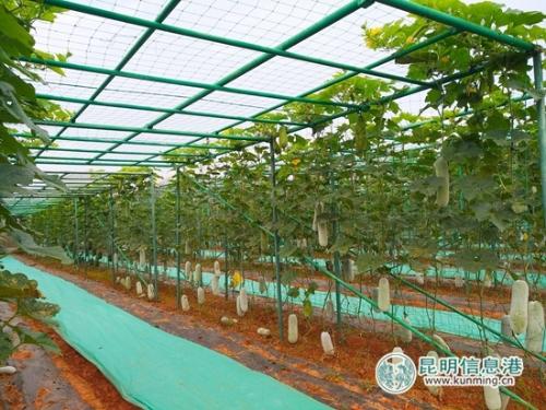 蔬菜基地展示的各种瓜。记者江枫 摄