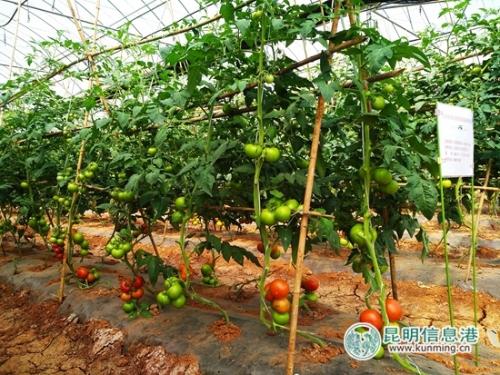 蔬菜基地里展示的各种番茄。记者江枫 摄