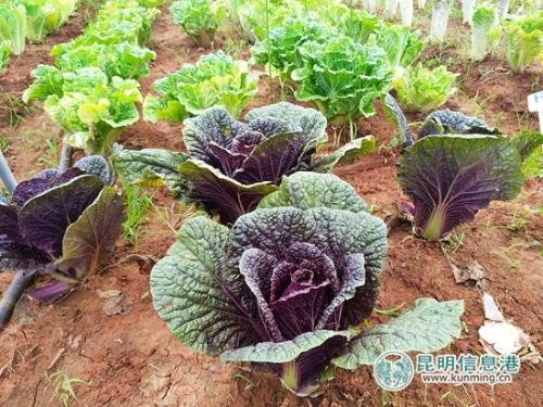 蔬菜基地里展示的紫裔白菜。记者江枫 摄