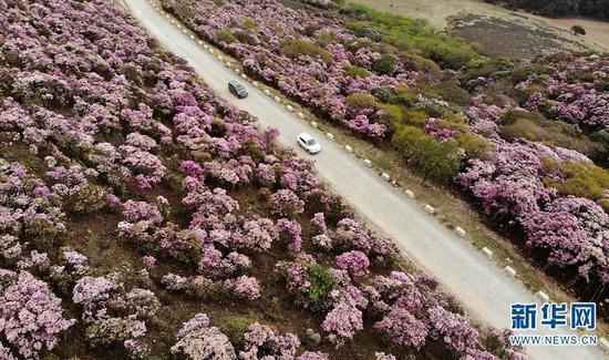 汽车从云南大理马耳山杜鹃花海中行驶而过。