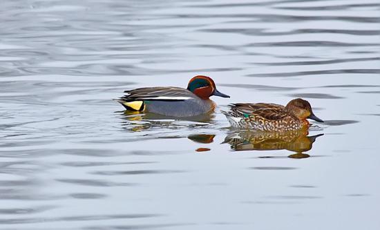 绿翅鸭,苏金泉摄影。