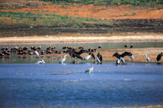 7只国家一级保护野生动物黑鹳现身云南保山青华海